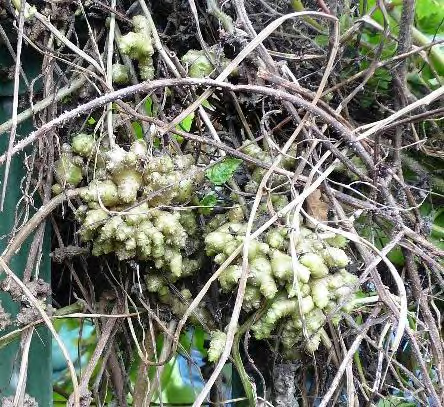 aerial tubers on Madeira vine branches