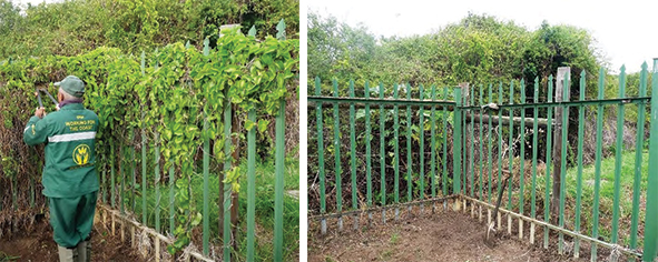 The above pictures show (left) Booi Michiels at work and (right) the cleared fence.