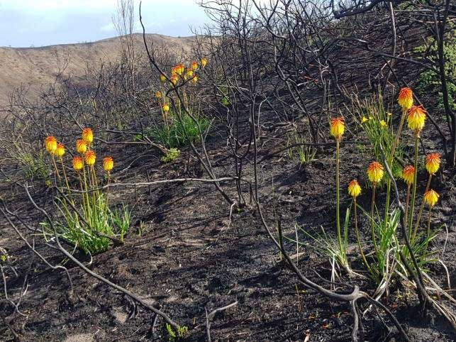Indigenous re-growth in pre-burnt Brenton