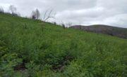 Wattle growing