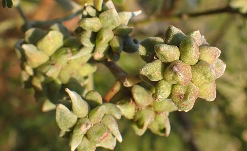 Biocontrol to Fight Black Wattle, Galls on infected Black Wattle
