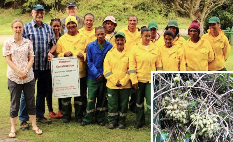 how-to-tackle-invasive-madeira-vine