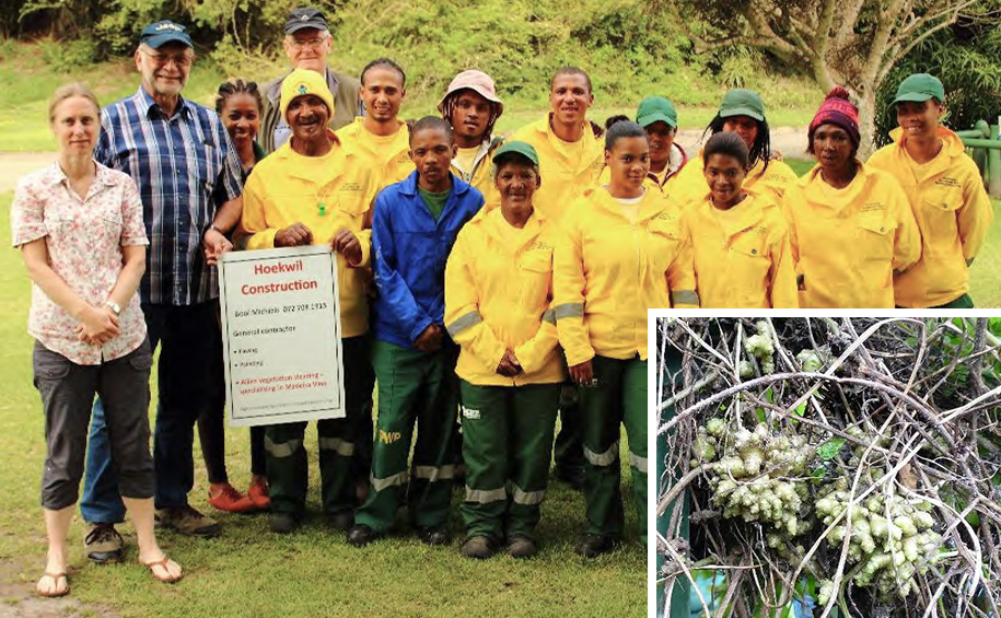 How to tackle invasive Madeira Vine