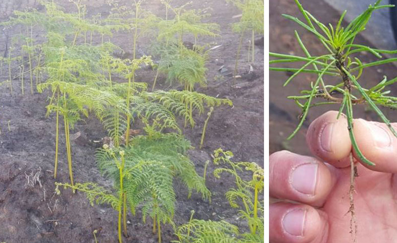 Bracken re-growth on several landscapes