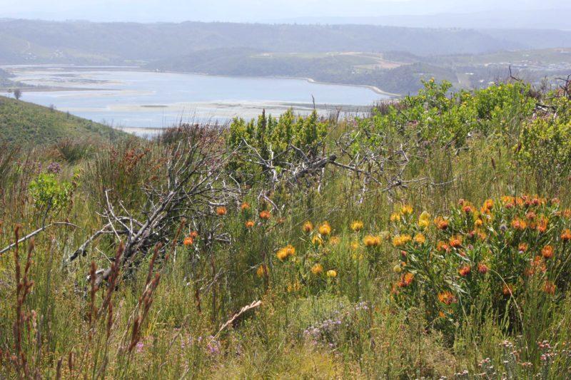 Kommer oor indringerplante en herstel van veld in Suid-Kaap